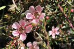 "Mass of Leptospermum ""Pink Cascade"" delicate pink tea tree blossom flowers"