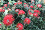 Metrosideros Spring Fire with its silvery, velvety leaves and balls of red bottle brush type flowers, bring pollinators from near and far. This plant enjoys living in coastal locations and doesn't mind a salty breeze