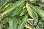 Buy Plants Online Alpinia Ginger Variegated | Free Shipping