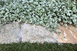 Dichondra Silver falls has silvery green round leaves that forms a soft covering across the ground