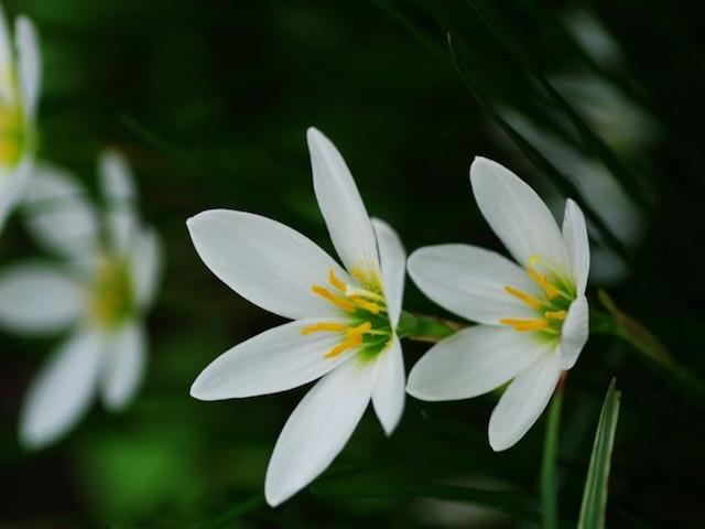 Zephyranthes candida - Rain lily | Plants in a Box