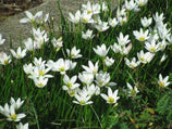 Zephyranthes candida - Rain lily