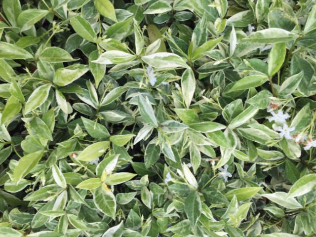 Valley Lights Jasmine | Plants in a Box | FREE SHIPPING!! | Order Now