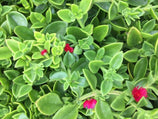 Aptenia cordifolia | Plants in a Box | Free Shipping Australia | Buy Plants Online