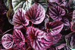 Peperomia caperata Red Beauty has purple corrugated heart shaped leaves