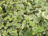 Buy Hedera helix variegata online free shipping