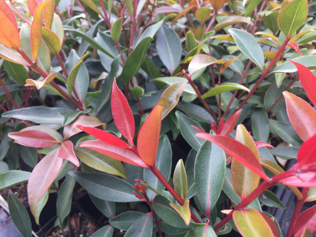 Metrosideros Fiji Fire™ bright soft red leaves
