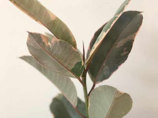FICUS RUBY | RUBBER PLANT | PLANTS IN A BOX | SHOP PLANTS ONLINE | FREE SHIPPING