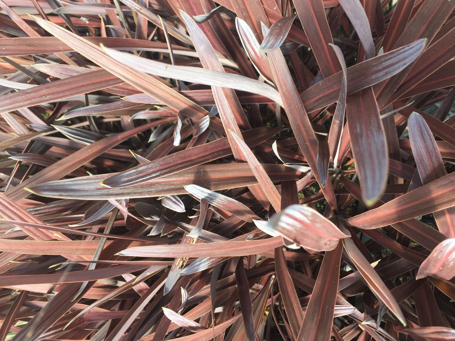 Buy Cordyline Red Sensation Online Australia Wide Shipping