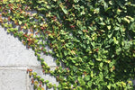 Ficus pumila minima | small creeping fig to cover ugly fence