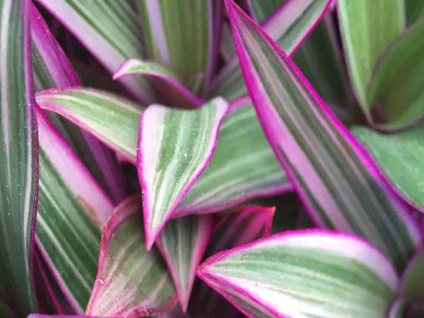 Buy Plants Online Rhoeo discolour pink Great range of plants