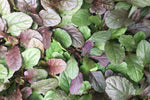 Overhead of Ajuga reptans Purpurea in a group. Purple and green foliage