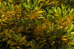 Croton speckled 'Gold Dust'