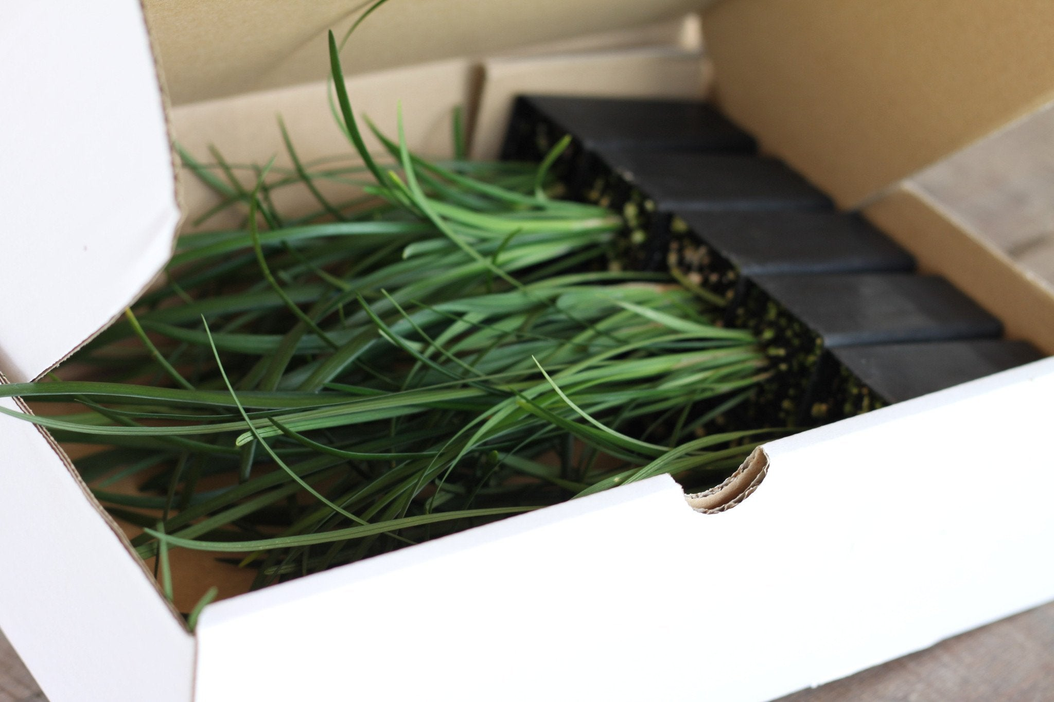 Liriope Evergreen Giant | Plants in a Box | Buy Plants Online | Free Shipping Australia