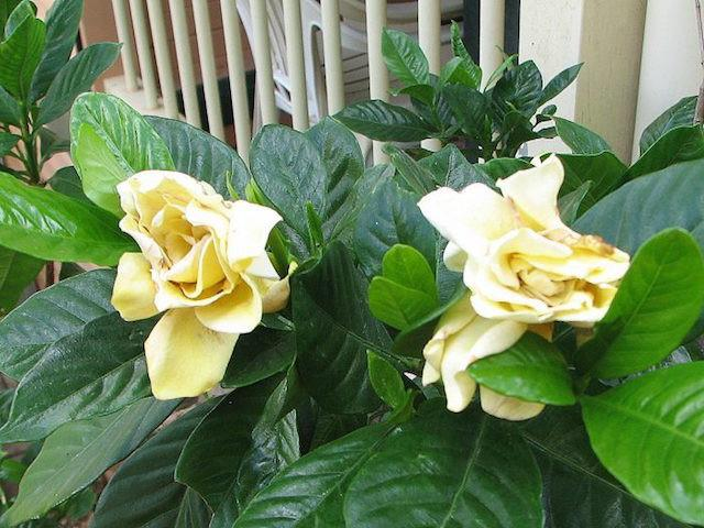 Gardenia Golden Magic | Plants in a Box
