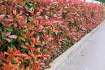 Use Photinia Red Robin for hedging and screening where he reaches four metres high and remain