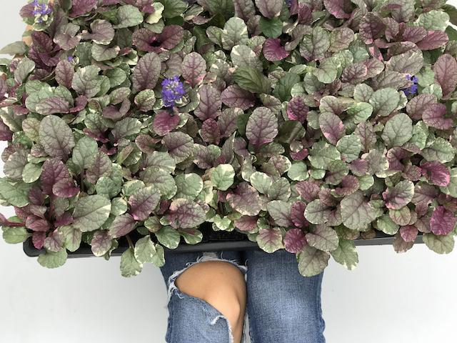 ajuga reptans burgundy lace| Groundcovers