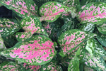 Aglaonema Red Valentine - 85mm