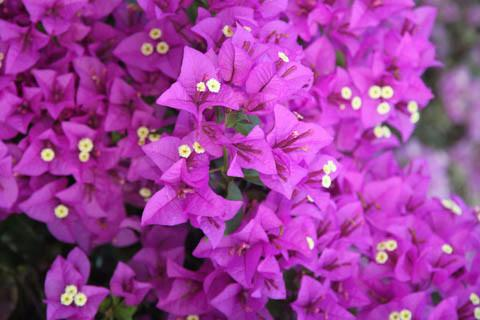 Buy Bougainvilleas Online | Plants in a Box | Australia Wide