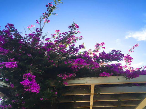 Bougainvillea Assorted Pack