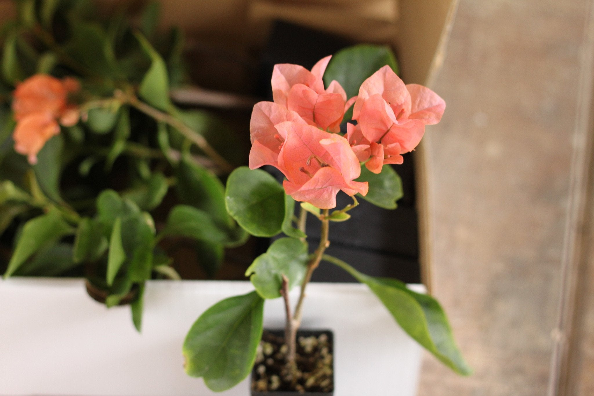 Bougainvillea Orange Glory | Plants in a Box | Buy Plants Online | Free Shipping Australia