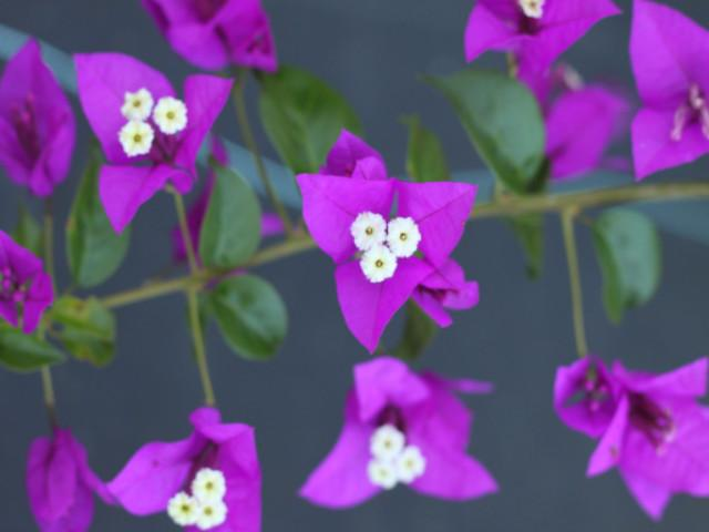 Bougainvillea Purple Gypsy