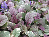 Ajuga reptans Burgundy Lace | Buy Plants Online | Groundcover plants | Fast Shipping