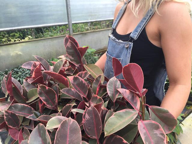 Buy Ficus Elastica Ruby Online | Free Shipping