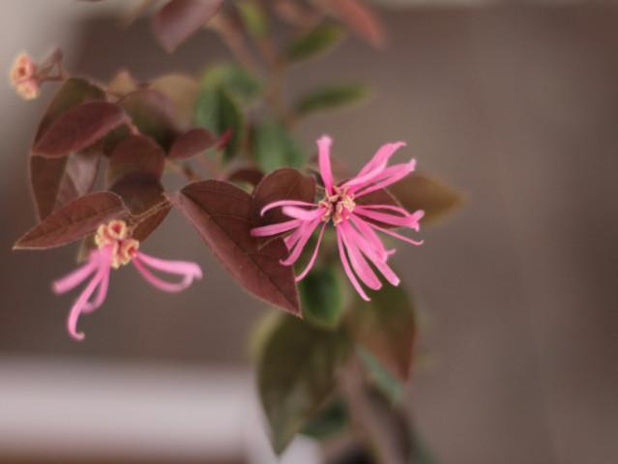 "Loropetalum chinense ""China Pink"""