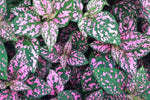 Hypoestes Confetti Compact Rose | Pink flowering shade plant