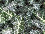 Alocasia lowii 'Polly amazonica' - Big Babes