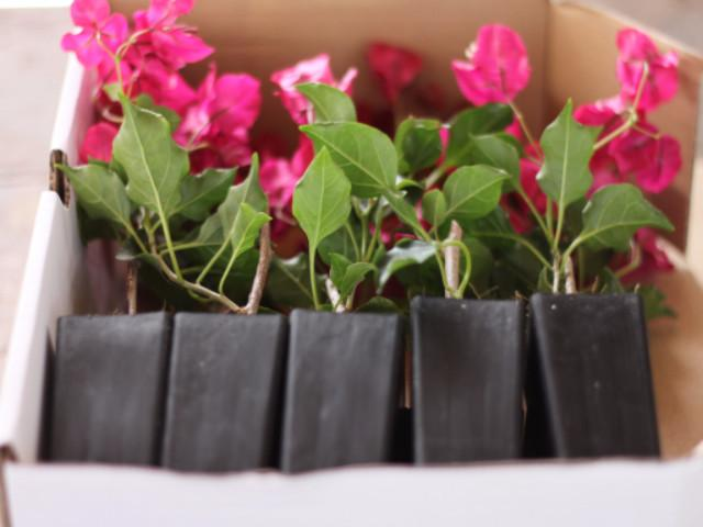 Bougainvillea Red Holly - Plants in a Box