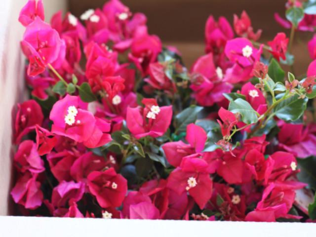 Bougainvillea Red Holly - Big Babes