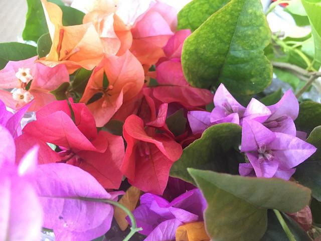 Assorted Bougainvillea Packs Online