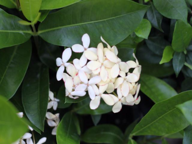 Ixora White Malay Plants in a Box | Affordable shurbs online