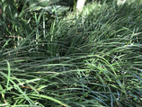 Liriope Evergreen Giant | Plants In a Box