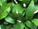 Spathiphyllum Petite | Plants in a Box