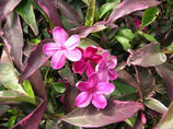 Buy Plants online Barleria purple gem fast delivery!