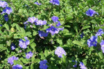 Flowering ground cover Evolvulus Pilosus blue. Also known as Blue Eyes or Blue Sapphire.