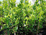 Ficus Emerald | Plants in a Box | Buy Plants Online | Free Shipping Australia