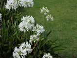 Agapanthus orientalis white - Flowers mass planting 10 Plants