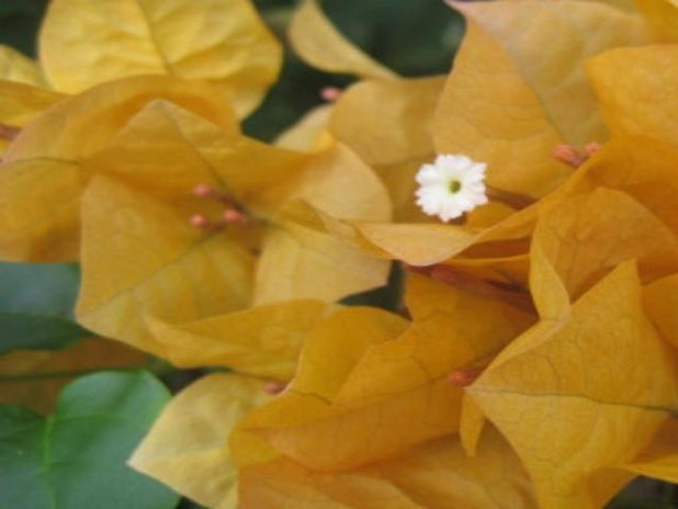 Bougainvillea Inca Gold - Big Babes