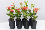 Ixora coccinea Coral Fire plants with rounded green foliage and striking coral coloured flowers