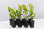 Ixora Prince of Orange plants with rounded green foliage, red new growth and striking orange flowers