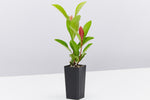 Buy Ixora Plants Online Delivered