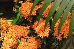 Ixora Dwarf Orange | Orange Foliage Little flowers Tropical