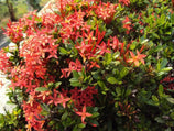 Ixora dwarf red | Subtropical | Tropical Garden | Low Hedge