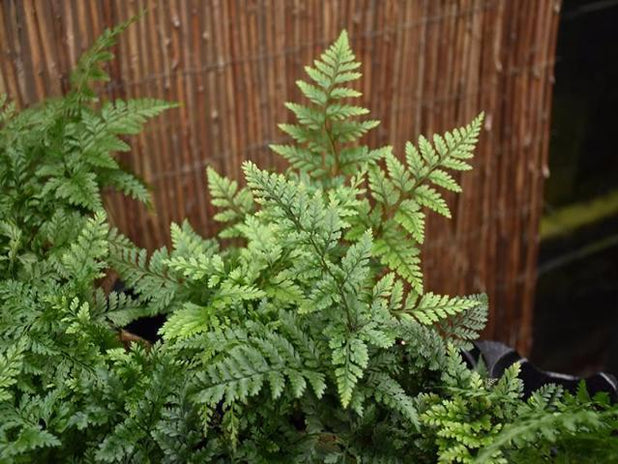 Humata White Foot | Rabbits Foots Fern | Free Postage | Free Shipping Online Plant Nursery