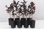 Lagerstroemia indica Best Red dark burgundy almost black foliage with red stems