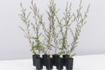 Leptospermum scoparium Ballerina native shurb plants with small coppery-green leaves on brown stalks